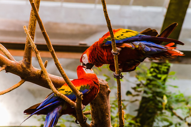 Parrots in the Rainforest ecosystem in the Montreal Biodome