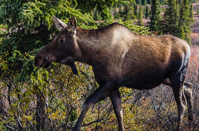 Moose in Denali National Park During Road Lottery