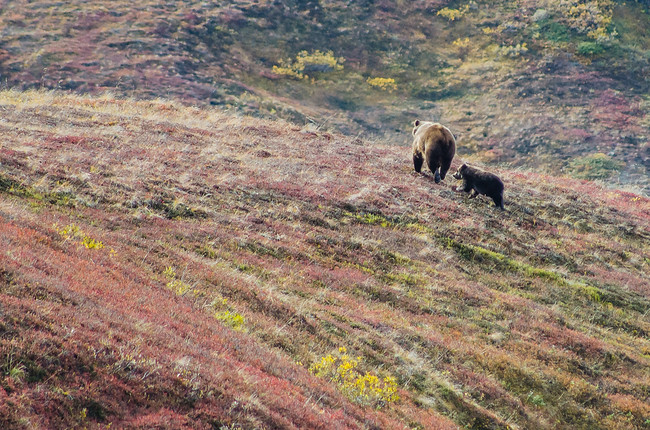 Grizzly and baby bear in Denali National Park, Alaska