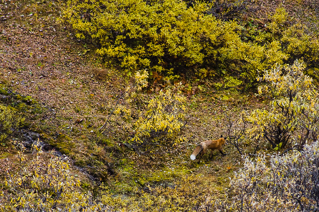 Red Fox in Denali National Park, Alaska during fall road lottery