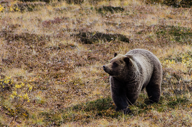Grizzly Bear Smiling in Denali National Park, Alaska