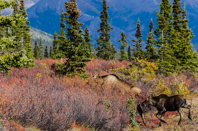 Moose and baby in Denali National Park, Alaska