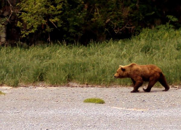 Bear in Katmai National Park