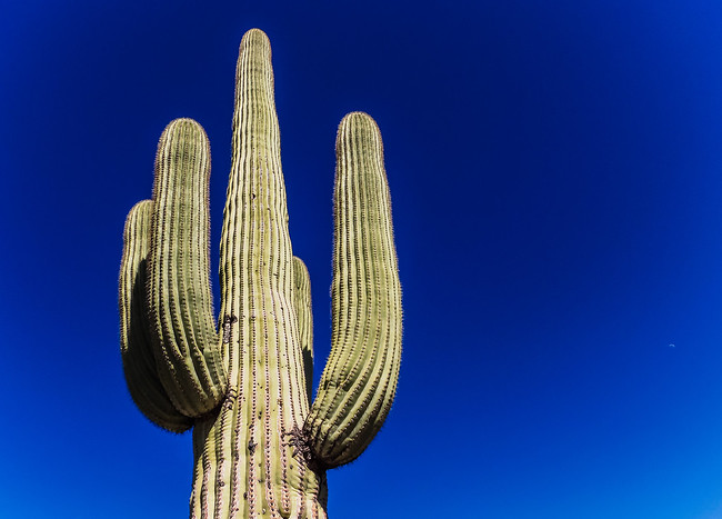 Saguaro Cactus Towering Into the Sky