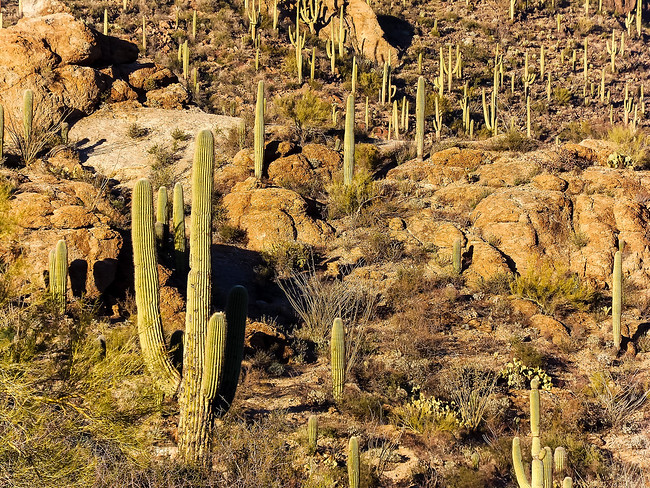 Saguaro National Park Forest of Cactus