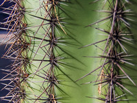 spines of a saguaro cactus