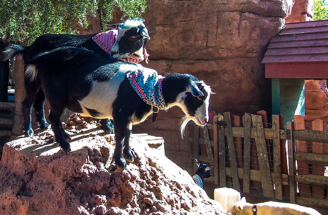 Goats in Disneyland at Christmas