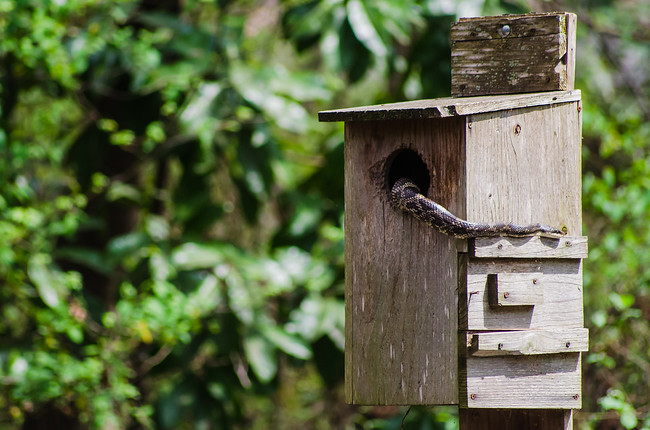 Snake in a birdhouse in Mississippi