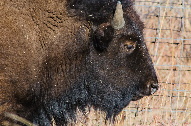 Buffalo with horns in the Wichita Mountain Wildlife Refuge