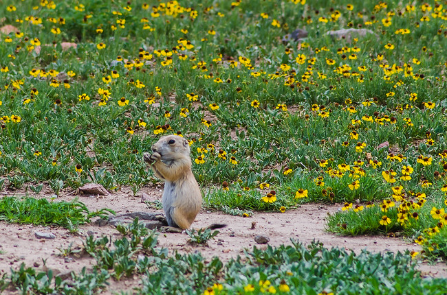 prairie dog wichita mountain wildlife refuge oklahoma