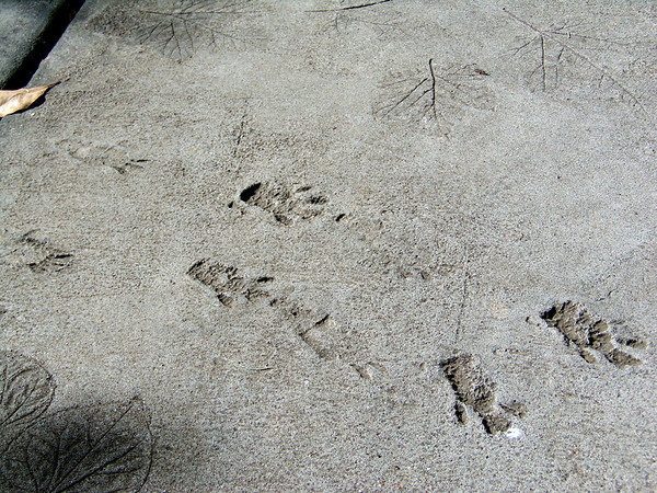 Animal footprints and leafprints Fort Worth Botanic Gardens
