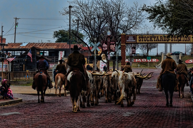 Stockyards cattle drive in Fort Worth