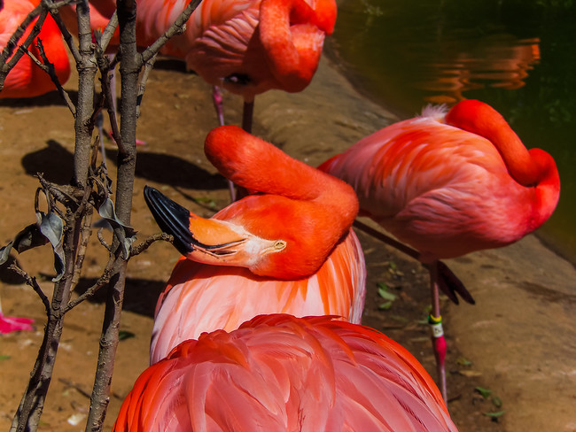 American flamingo (Phoeniconais ruber ruber) at Fort Worth Zoo in Texas