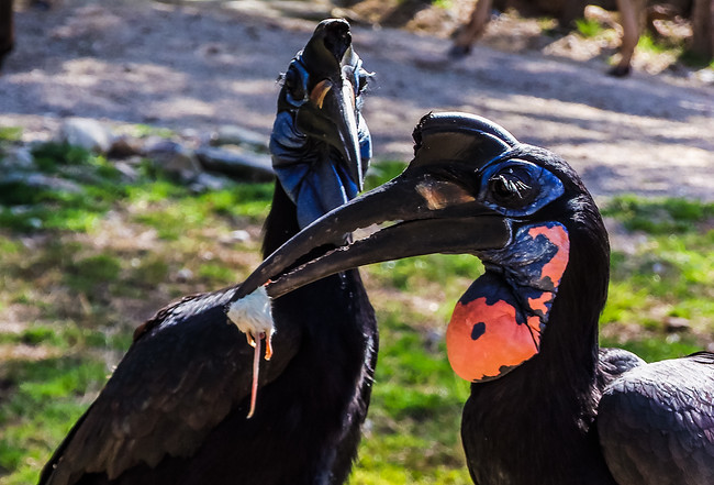african ground hornbill eating a mouse fort worth zoo texas