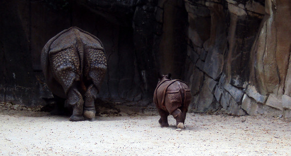 Asha rhino at Fort Worth Zoo