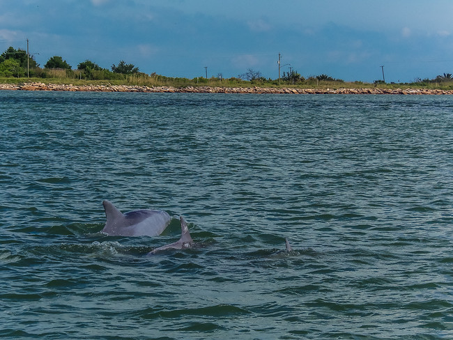 dolphin galveston bay