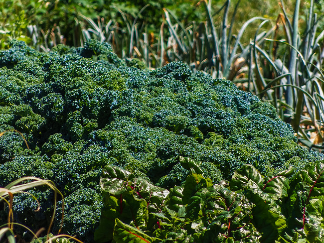Broccoli and onions growing in the field of Homestead Farms in Keller Texas