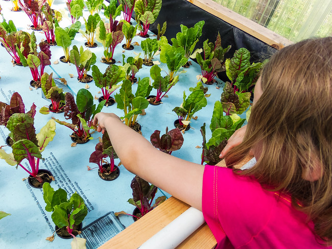 Girl touching vegetables grown hydroponically at Homestead Farms in Keller Texas
