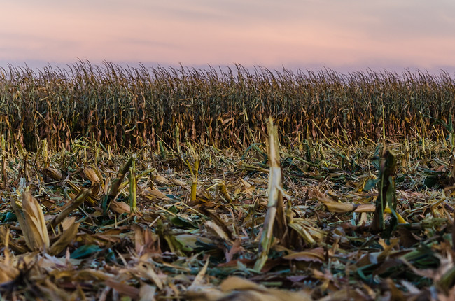 Partially harvested corn field in Texas at sunset