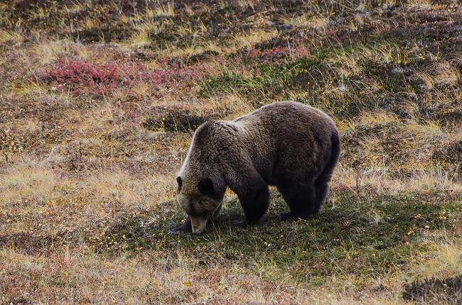 Grizzly during Denali Road Lottery
