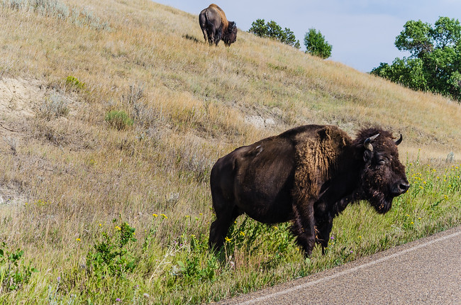 Bison by the road at Theodore Roosevelt National Park