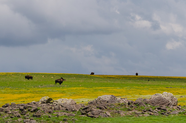 Buffalo at the Wichita Mountains Wildlife Refuge