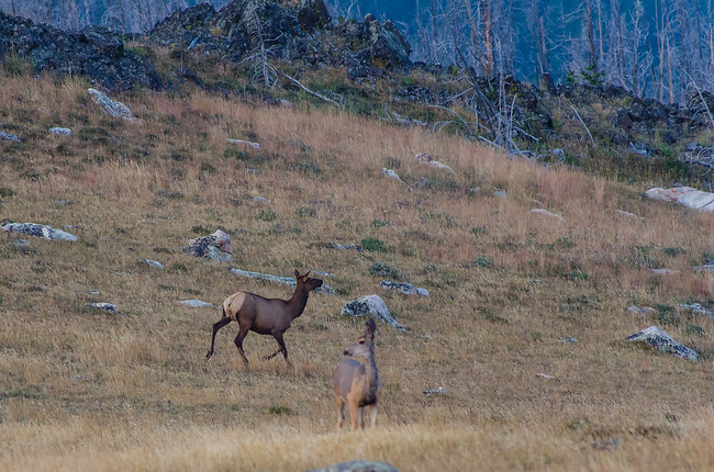 Deer and Elk in the Bighorn Mountains National Forest